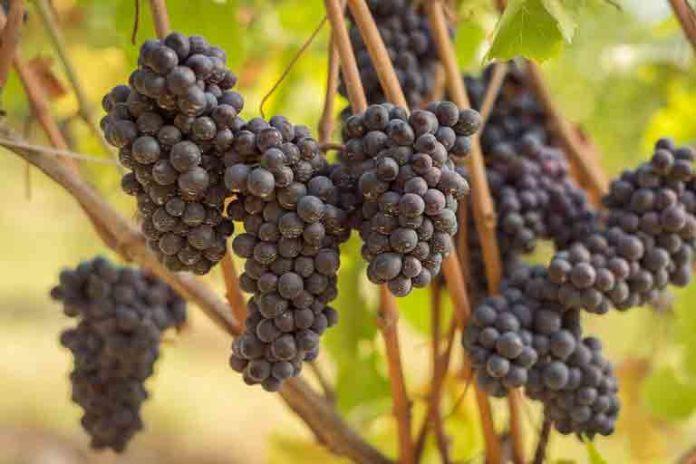 Pinot Noir - Corriere del Bar